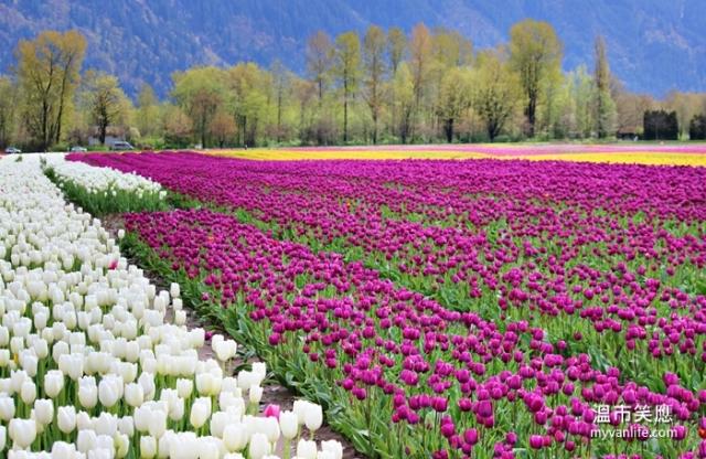 flowerIMG_29042014tulip