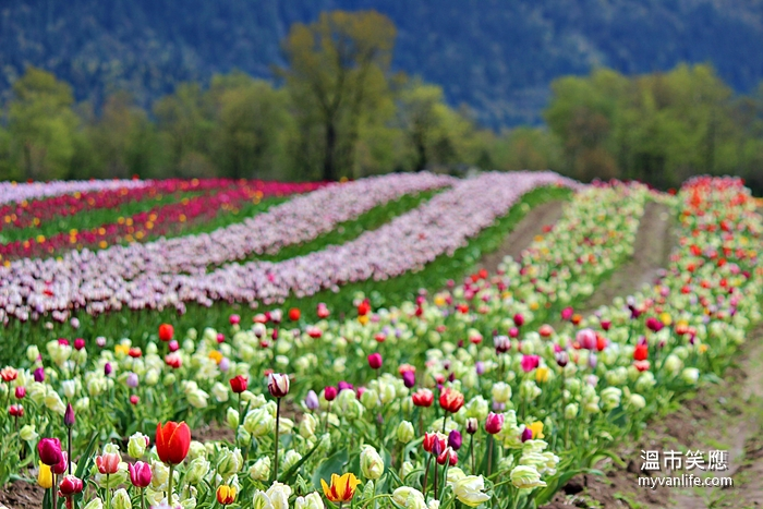flowerIMG_29662014tulip