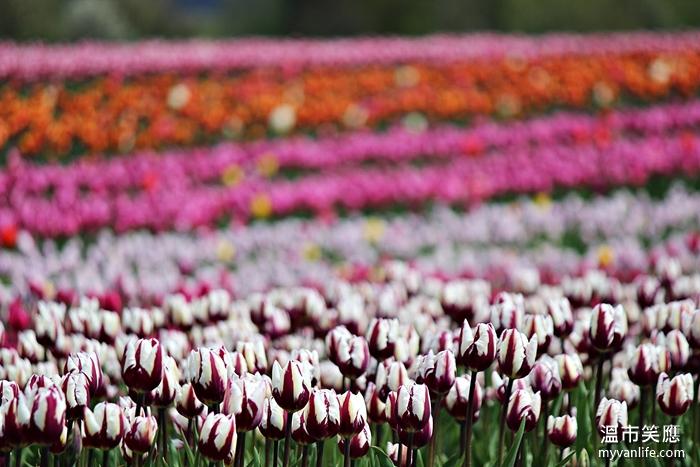 flowerIMG_29672014tulip
