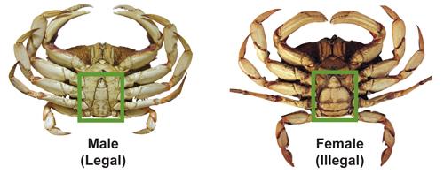 公蟹母蟹你會分辨嗎?(取自網路)
